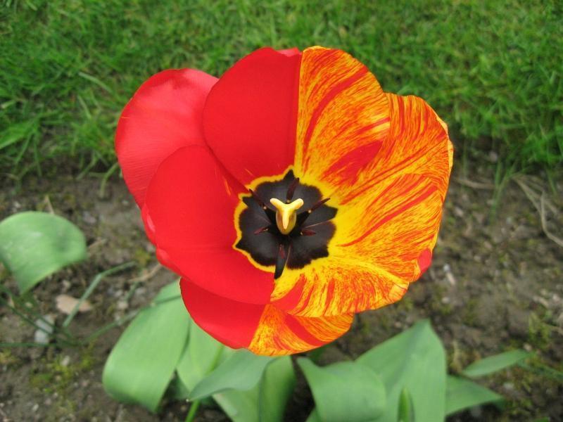 Unusual half and half tulip