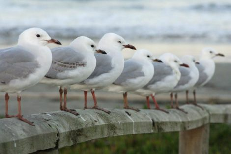 Seven Seagulls all in a row