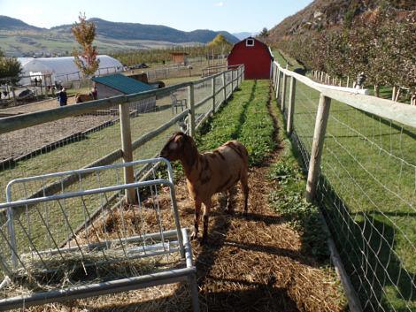 Goat Run and Barn