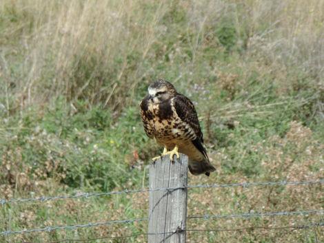 Hawk on fence pole