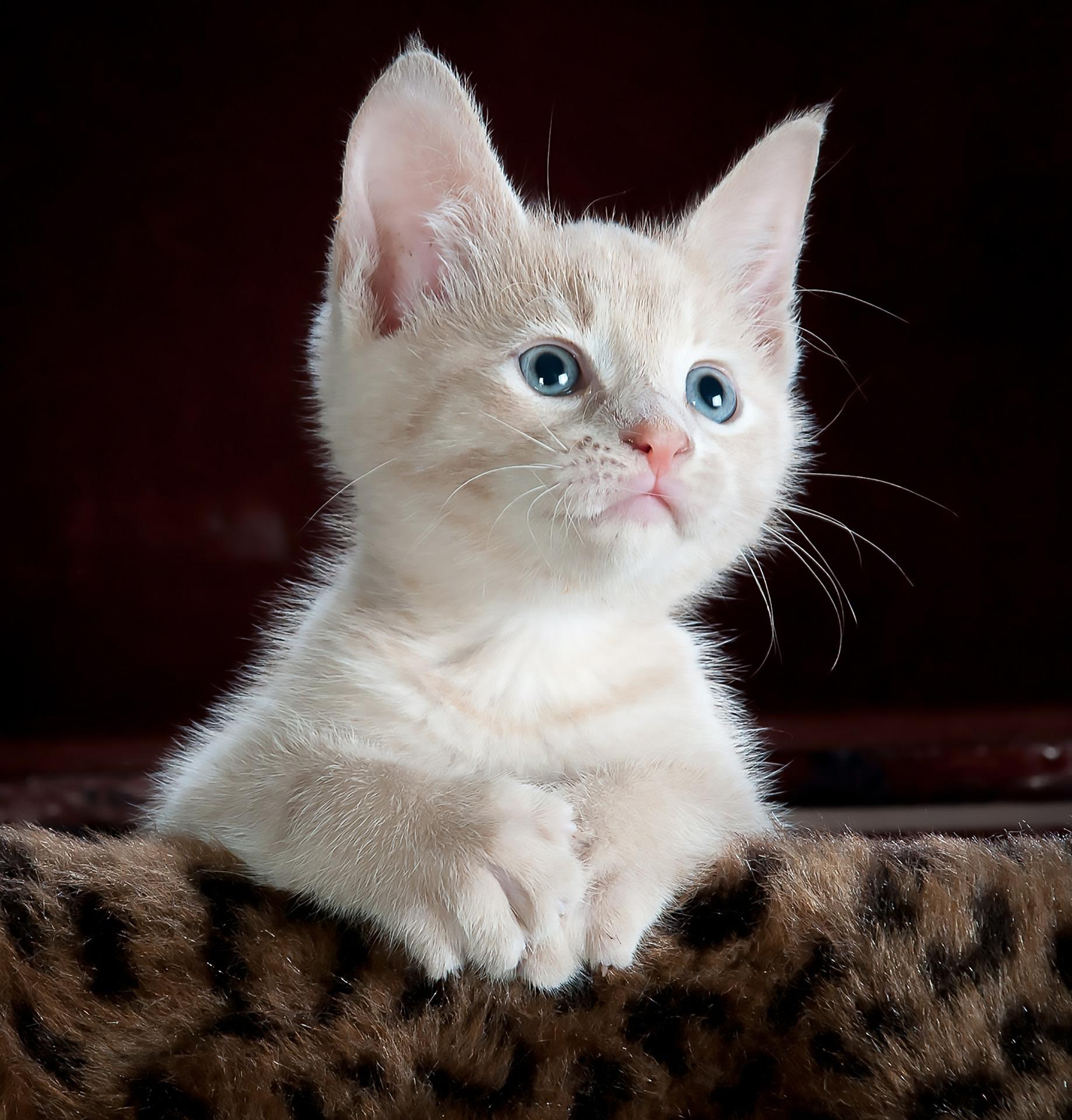 Adorable Blue Eyed Kitten