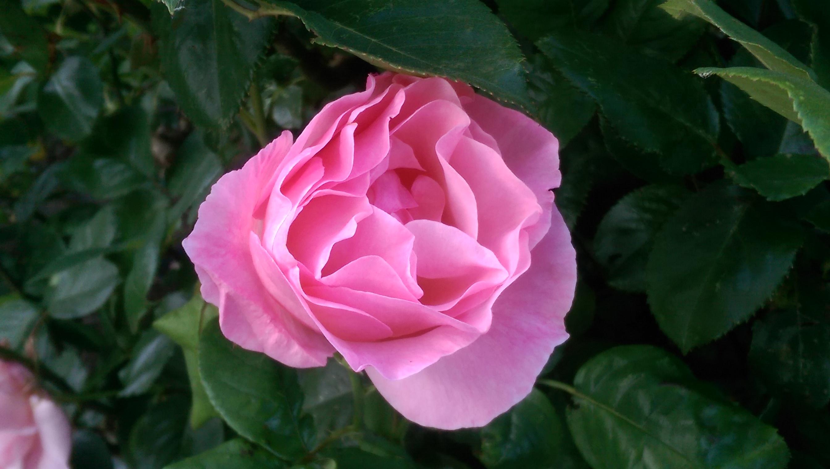 Close-up of a beautiful pink rose