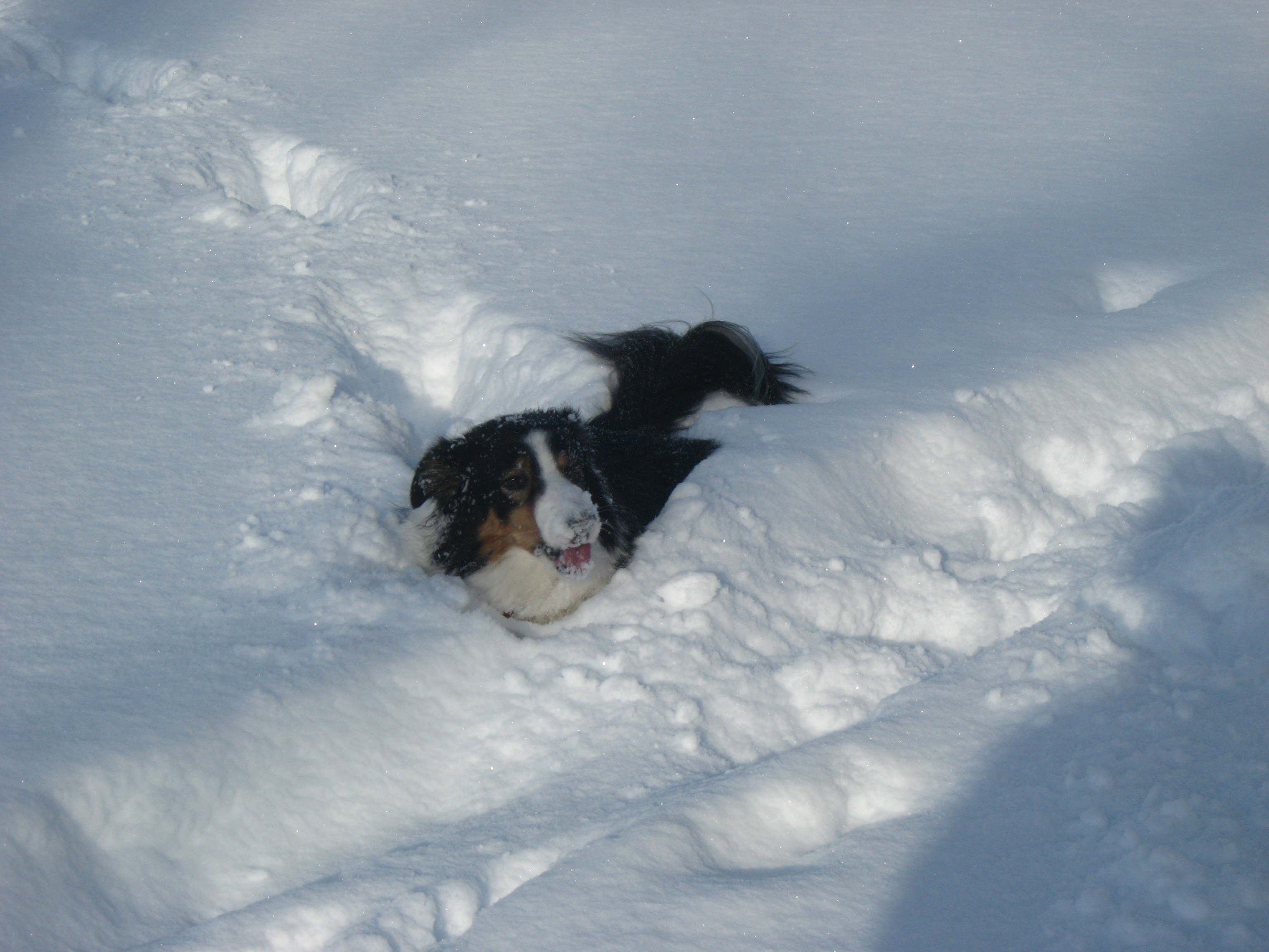 Border Collie Playing in Deep Snow