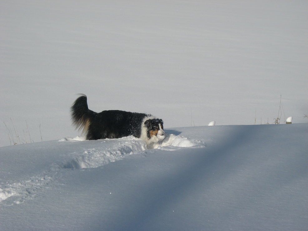 Border Collie Playing with a Snowball