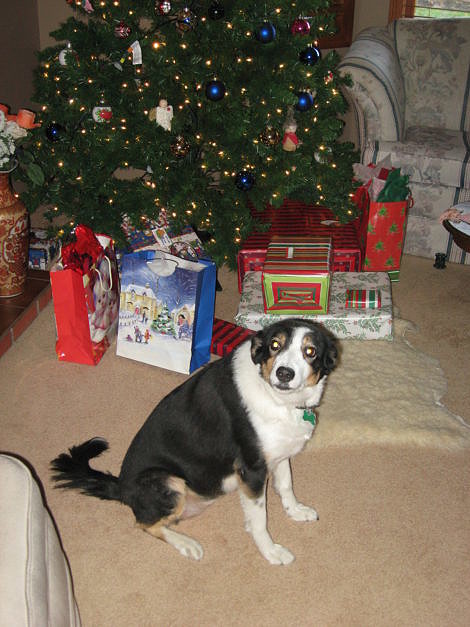 Border Collie in front of Christmas Tree