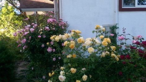 Country rose garden