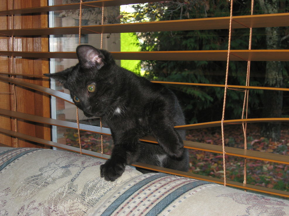 Black Kitten Playing in the Window Blind