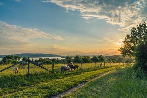 sheep grazing at sunset