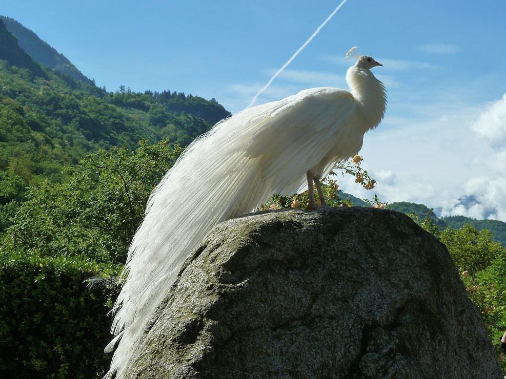 Stunning White Peacock