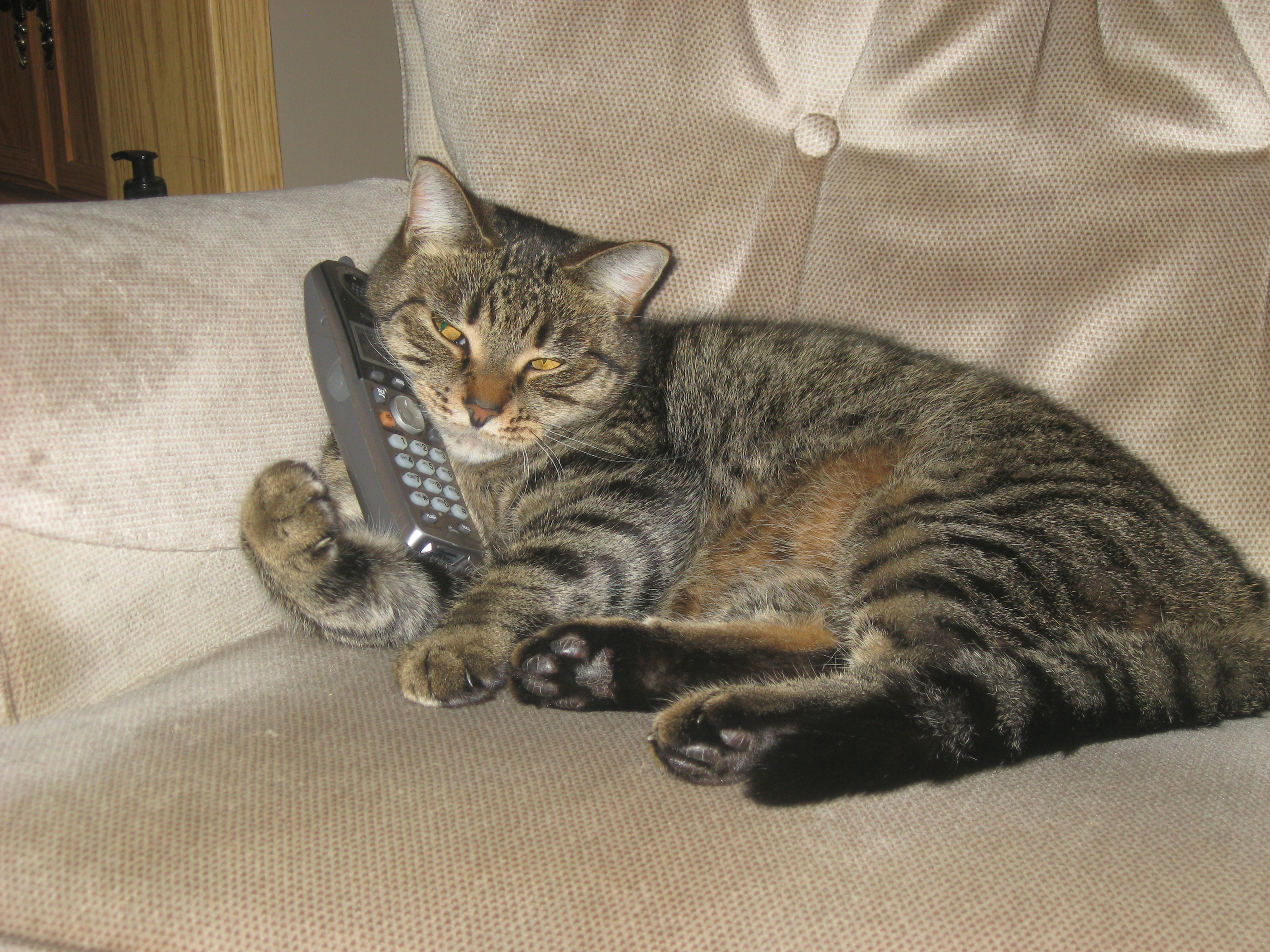 Tabby Cat on the Phone