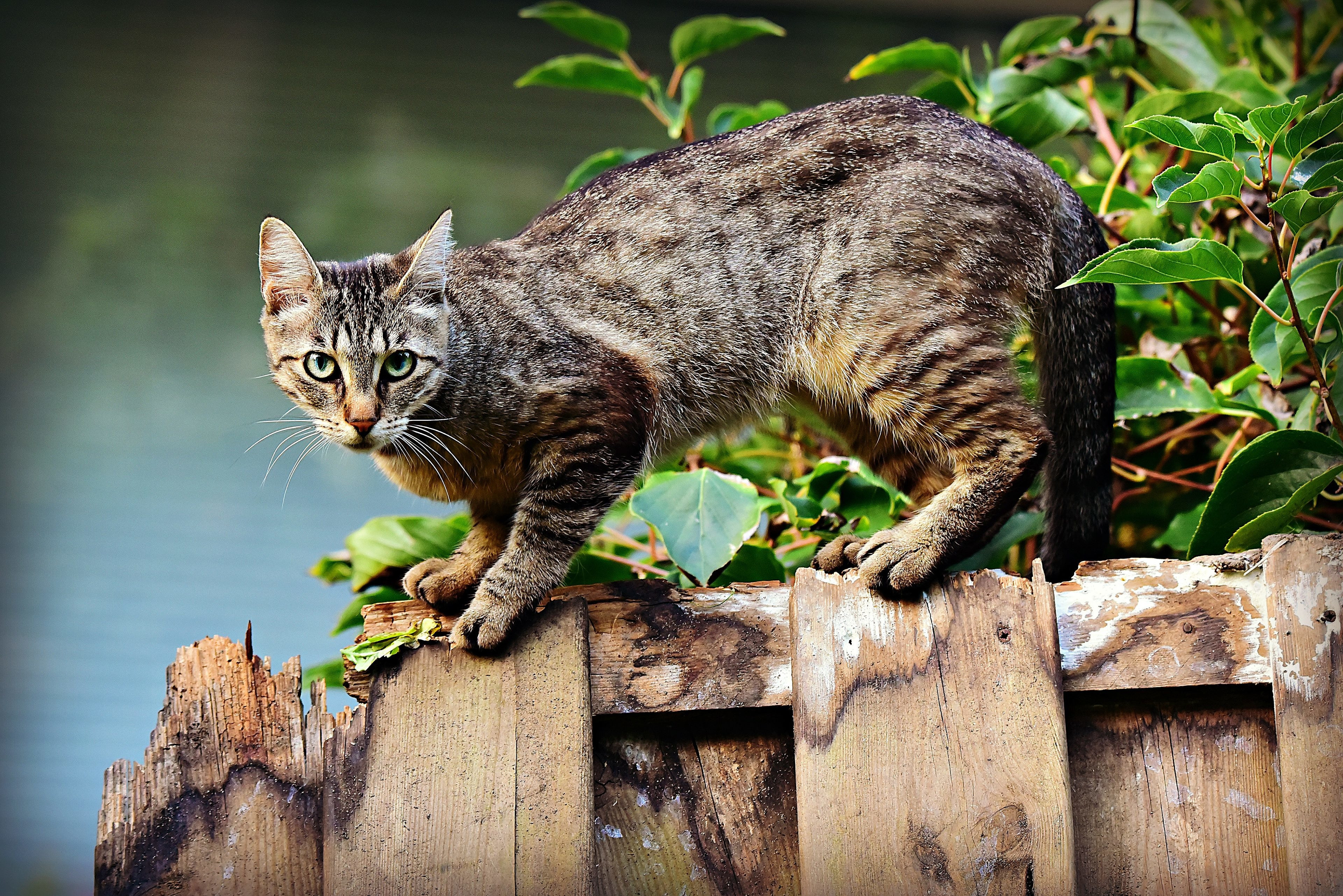 Tabby Cat staring from a fence top