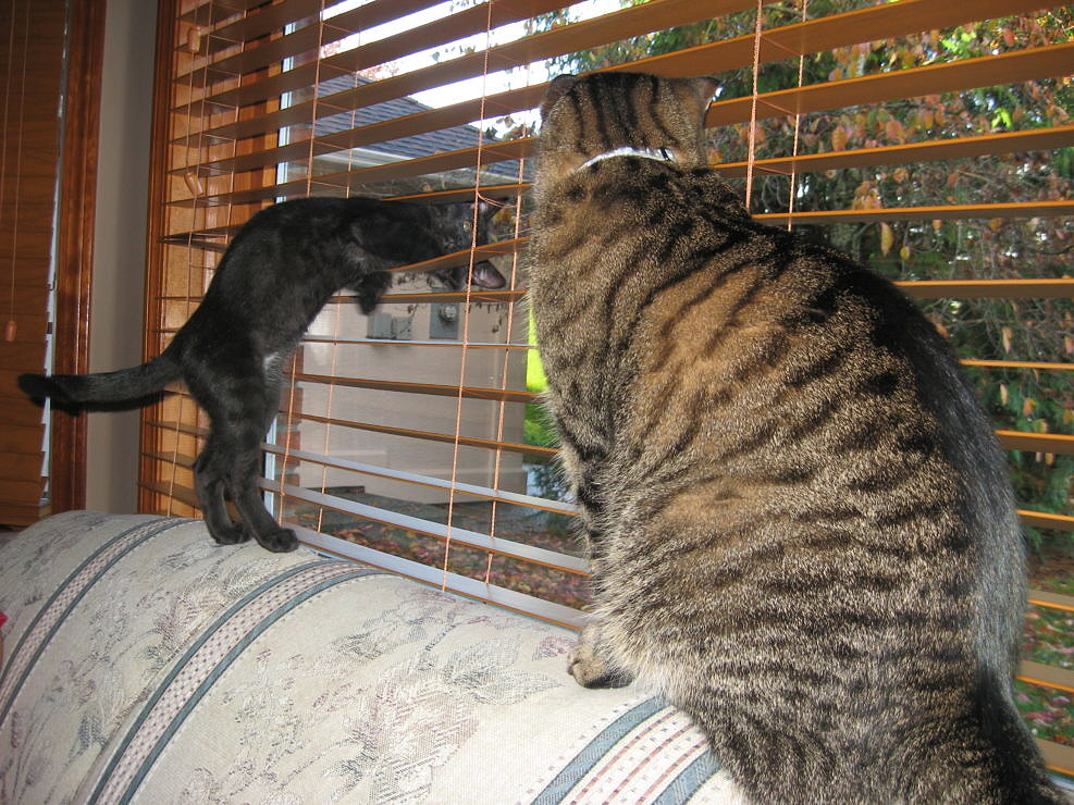 Black kitten showing off to older Tabby cat