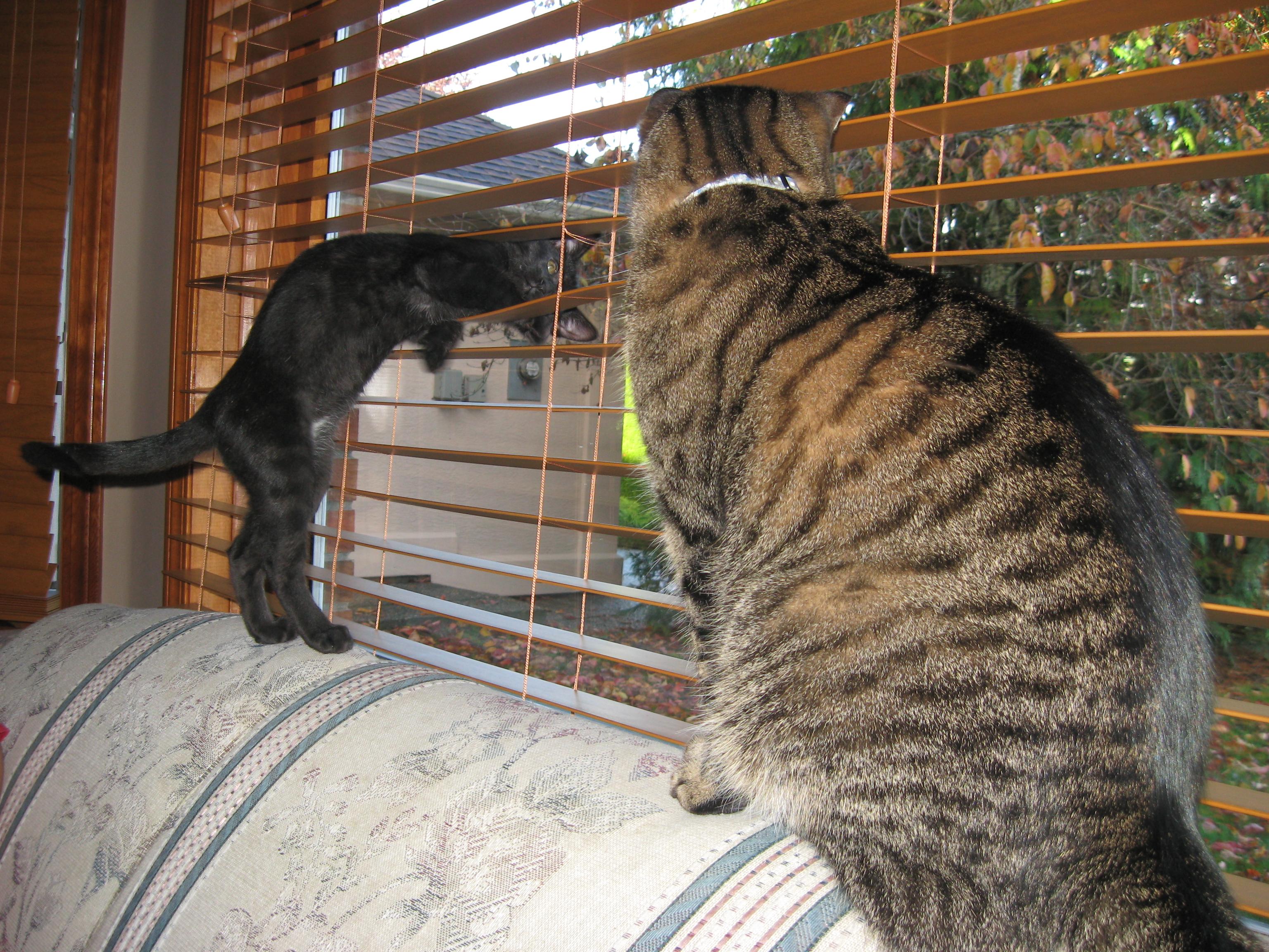 Black kitten showing off to older Tabby cat